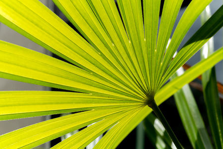 Nature green leaf background of lady palm (Rhapis exclesa plamae ) in garden