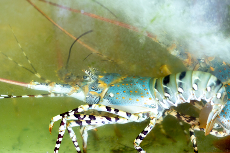 Colorful lobster in aquarium tank at the seafood market.
