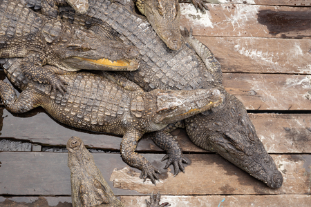 Crocodiles sleeping in the sun om wooden floor.