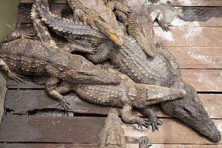 Crocodiles sleeping in the sun om wooden floor