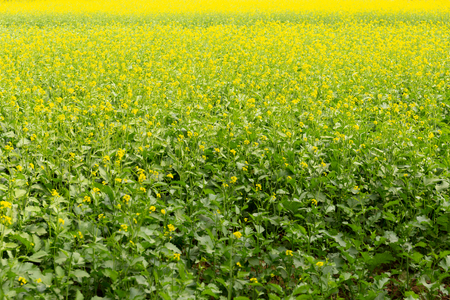 Background of mustard plants with beautiful yellow flowers field in Indian.