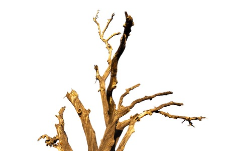 Old and dead tree branch isolated on white background.