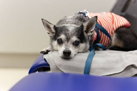 Chihuahua lying down on a chair at animal hospital.