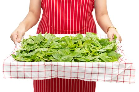 Woman holding tray with sweet basil leaf isolated in background