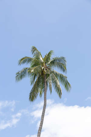 Vertical of coconut palm trees isolated on white background.