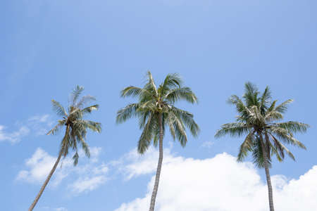 Three coconut palm trees with blue sky and white cloud in background. Фото со стока