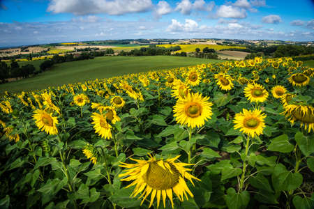 le: A sunflower field in France close to Toulouse