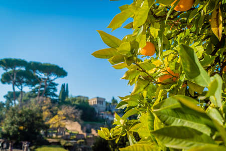 Oranges on a tree in Rome on a sunny day