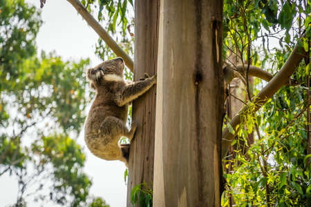 Backlit koala climbing to a tree in Sharps camp site in Australia