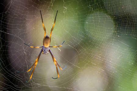 Golden orb weaving spider Nephila plumipes in Australia