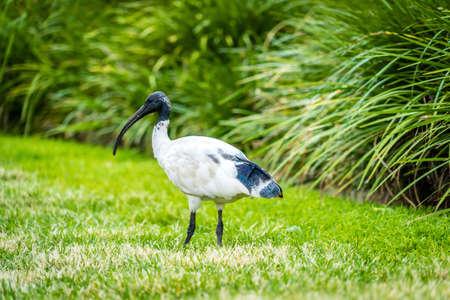 Australian white ibis Threskiornis molucca in a park in Brisbane Stock Photo