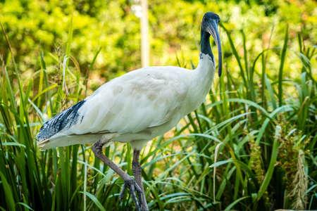 Close up shot of an Australian white ibis Threskiornis molucca in a park in Brisbane