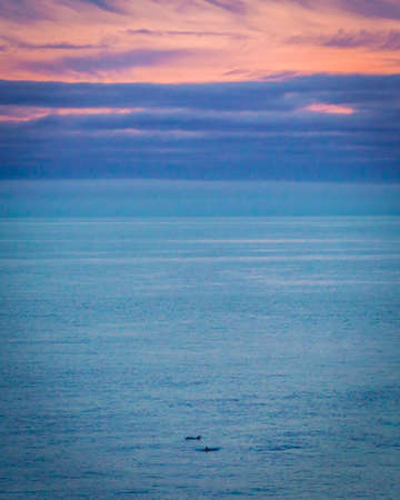 Dolphins swimming in the sunset in Bretagne in France