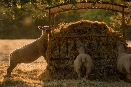 Sheeps and farming in France, Dordogne valley area