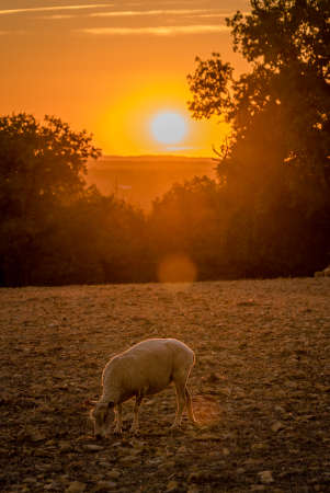 Sheep peacefully eating in the sunset in Dordogne valley, France Archivio Fotografico