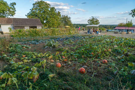Organic bio agriculture in France, pumpkins in the field