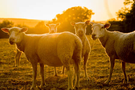Sheeps farm animals backlit in the sunset in France