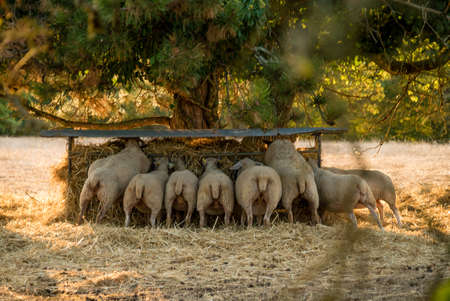 Bunch of sheeps eating in Causses, France Archivio Fotografico