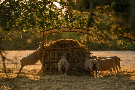 Sheeps eating in the sunlight, backlit, in Occitanie, France