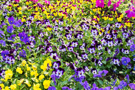 Pansies in different colors  photo
