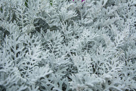 miller: Dusty Miller leaves