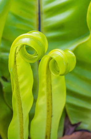 polypodiaceae: Bird s nest fern in the garden  Stock Photo