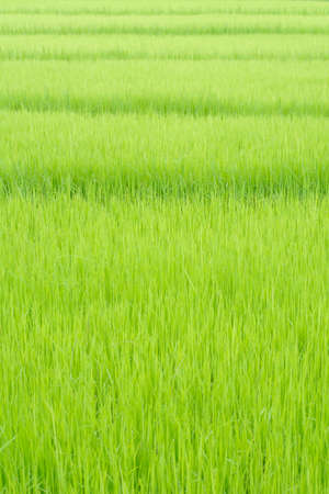 field of thai: Green rice leaf background in the field