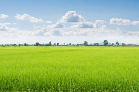 field of thai: Green field and sky with white clouds.
