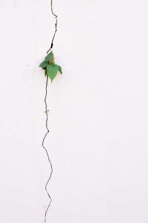 crack wall: young plant growth on the old white crack wall background