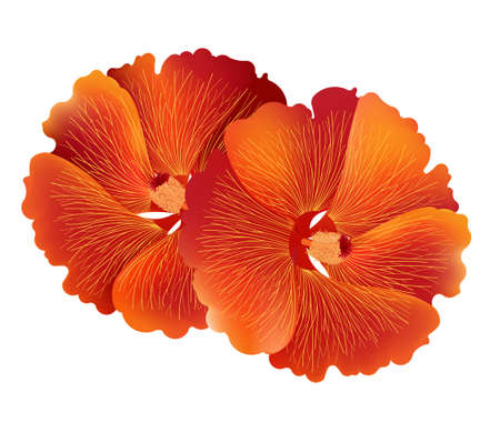 red hibiscus flower: Illustration vector of red hibiscus flower or common name is Chinese Rose, Rosa mallow isolated on white background Illustration