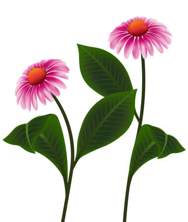 breezy: illustration vectors pink cone flower of Echinacea purpurea, Purpur Sonnenhut or Roter Scheinsonnenhut on white background