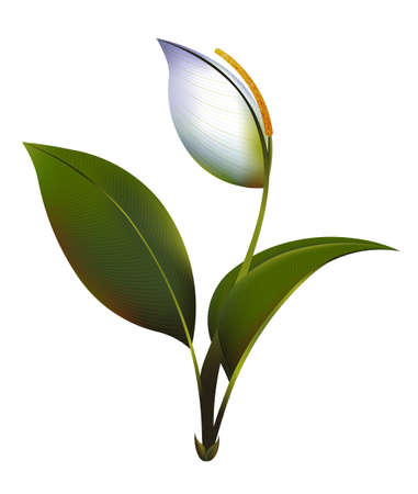 beautiful flower: beautiful flower vector illustration of Spathiphyllum on a white background