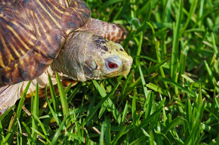 Red-eyed Ornate Box Turtle examining some grass