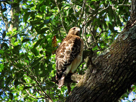 shouldered: Red-tailed Hawk Perched on a Branch