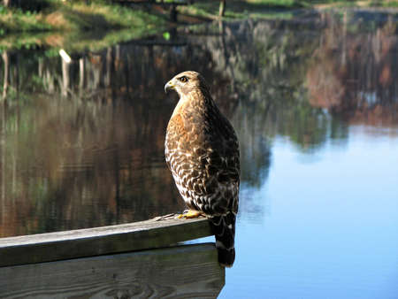 shouldered: Buteo lineatus Stock Photo