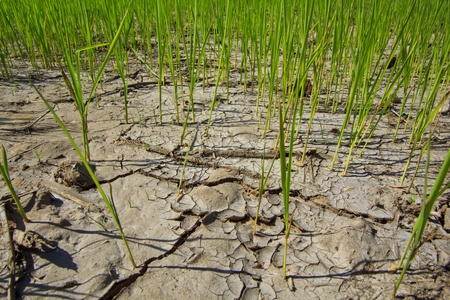 Crops to drought