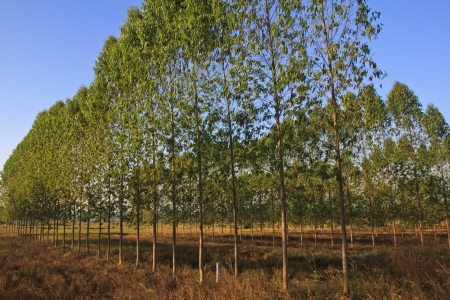 Eucalyptus forest in Thailand, plats for paper industry Stock Photo - 16905471