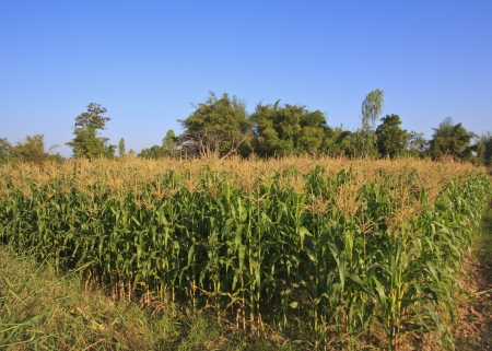 This corn field is vivid green in the summer sun