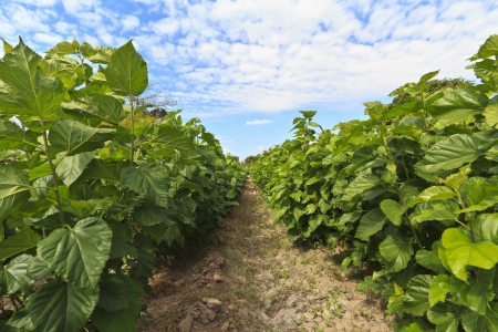 Growing mulberry trees at field  Stock Photo