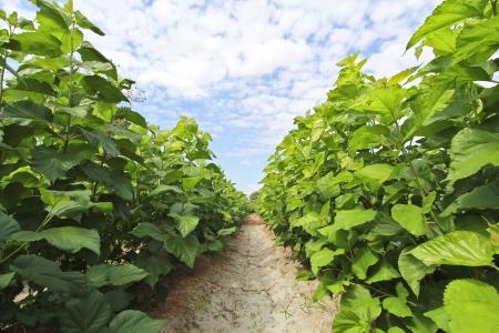 morera: El cultivo de �rboles de morera en el campo