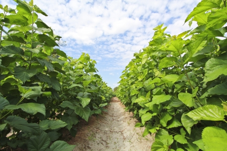 Growing mulberry trees at field  Stockfoto