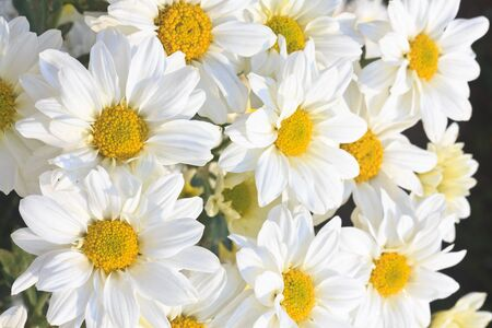 Group of Chamomile flower heads   Stock Photo