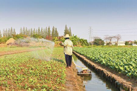 Farmer watering kale field.