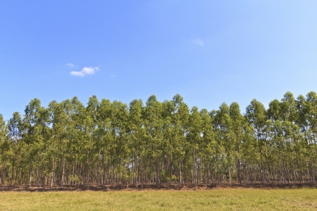 Eucalyptus forest in Thailand, plats for paper industry. Stock Photo - 18173451