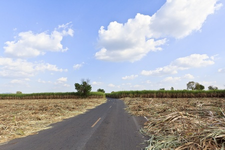 Sugar cane field in blue sky  Stock Photo - 18219150