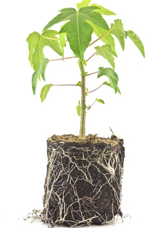 Papaya plants on white background