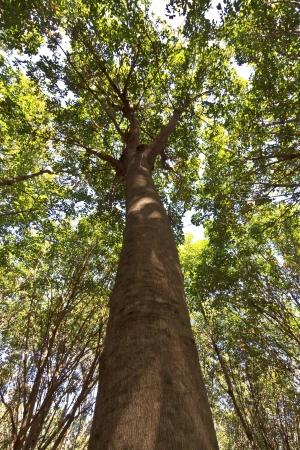 View of a rubber plantation in Thailand  Foto de archivo