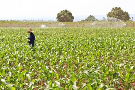 Farmers working in the fields of corn