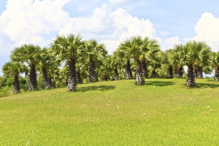 Sugar palm trees in the field Stock Photo - 19695504