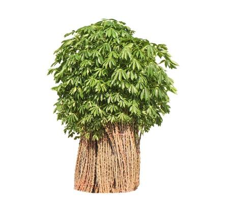 breeder sapling of cassava on white background   Stock Photo